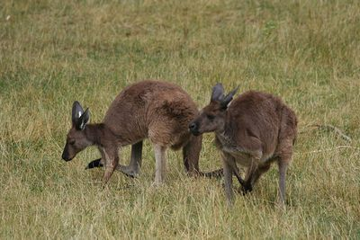 <strong>Kangaroo farts are real</strong>