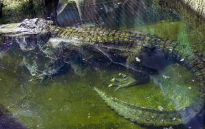 Alligator rumoured to have belonged to Hitler dies