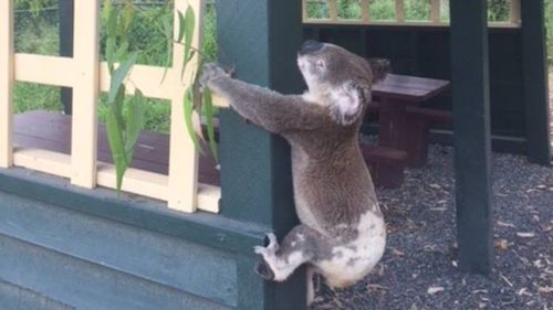 """All is not as it seems in this photo."" (Facebook/Koala Rescue Queensland)"