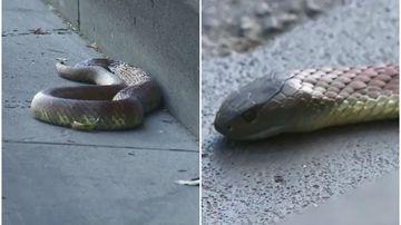 Tiger snake slithers through Melbourne CBD