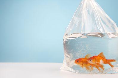 Bride gives wedding guests live goldfish