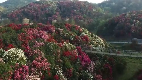 A blooming of azaleas in China's southwest has transformed the wilderness into a sea of white, pink and red. (AP)