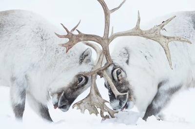 'Head to head'. Winner - Behaviour: Mammals.