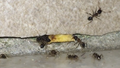 Invasive exotic ant species wreaking havoc in parts of Western Australia