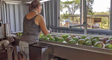 Mango grading on the farm
