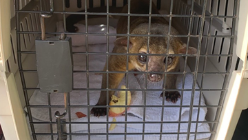 A kinkajou, an exotic cousin of the raccoon, attacked a man in Florida after he and his girlfriend left watermelon for it outside their home.