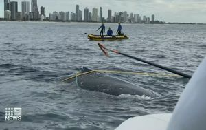 Third humpback whale trapped in Gold Coast waters in three days sparks calls to remove shark nets