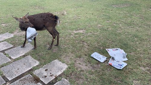 Nara Park is home to the deer, who are protected by law, however the sacred animals continue to become sick or die due to rubbish being left behind.