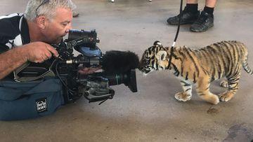 Tiger cubs take first walk outside Dreamworld nursery