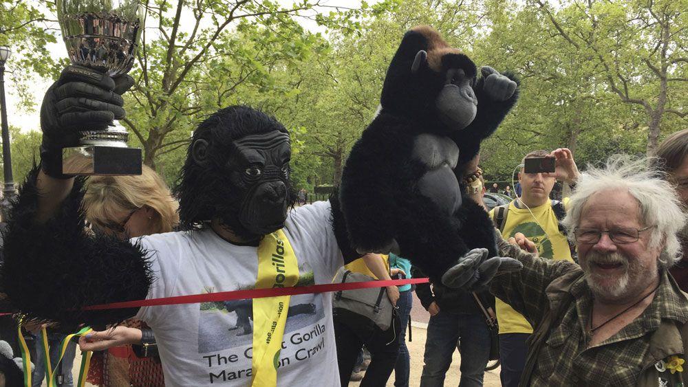 Man dressed in gorilla costume crawls London Marathon in six days for charity