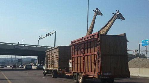 Giraffe dies after hitting bridge
