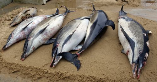 A record 1100 mutilated dolphins have washed up on France's beaches since January. Many are clearly victims of industrial fishing.