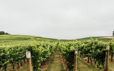 Tamar Valley vineyard, Tasmania