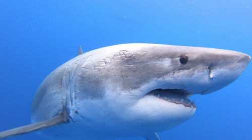 The numbers of greate white sharks in our ocean are decreasing and iis listed as vulnerable and migratory under the Environment Protection and Biodiversity Conservation Act 1999 in Australia.