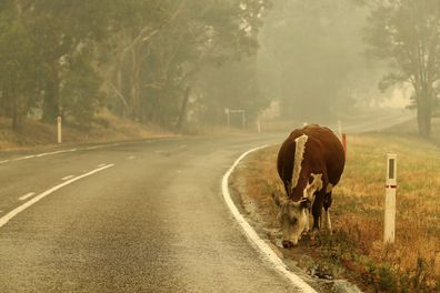 With fire damaged fences, cattle  wander on to the road on January 05, 2020 outside Cann River, Australia in East Gippsland.