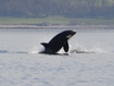 Pod of killer whales spotted in river