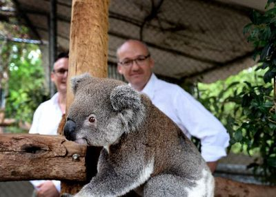 It's not an election campaign without a couple of animals - here Opposition Leader Luke Foley hangs out with some koalas in Lismore (North West Star)