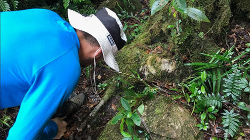 Dr Ashley Field at the rediscovery of Hymenophyllum whitei.