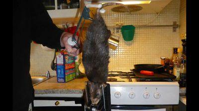 A giant rat that terrorised a family in Stockholm, Sweden (Justus Bengtsson-Korsås/Facebook)