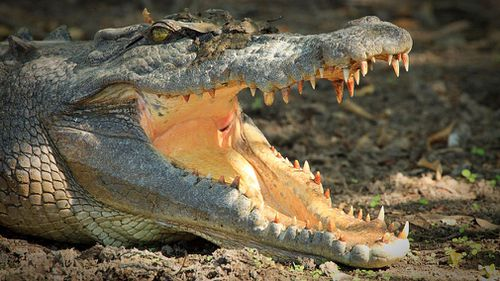 The focus has been put back on whether a crocodile cull would eliminate the numbers of the animal that are deemed to cause problems. Picture: Getty.