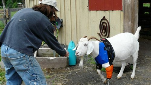 Animals with amputations are among the wards at Woodstock Farm Animal Sanctuary. (Supplied)