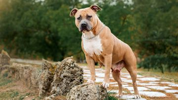 American Staffordshire terriers are top of the NSW dog attack list, based on government data covering September 2020 -  March 2021.