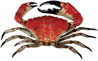 <strong>Tasmanian giant crab</strong>