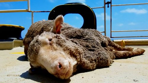 Countless sheep died on the ship headed for the Middle East last year. (60 Minutes)
