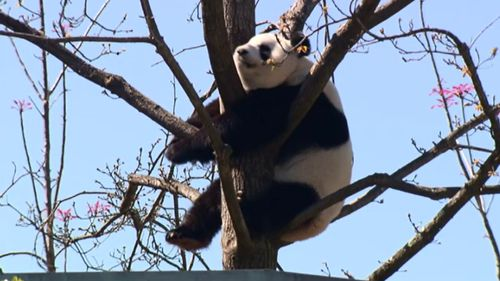 Annual 36-hour mating period begins for Adelaide's giant panda pair