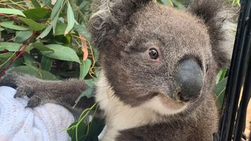 Cuddles the koala not ready to return to life in the bush