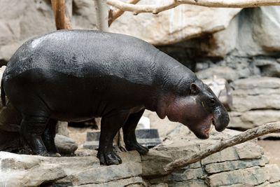 Pygmy hippopotamus<br>