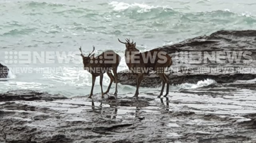 A delicate rescue operation is underway to save two deer who have become stranded on rocks south of Sydney.