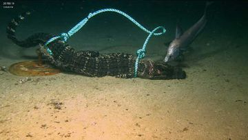 The alligators were dropped on the ocean floor in the Gulf of Mexico.