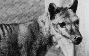 Spate of Tasmanian tiger sightings reported, reviving hopes it is not extinct after all
