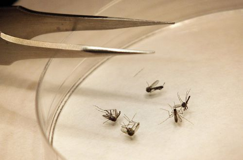 Mosquito-Borne Brain Infection Found in Florida