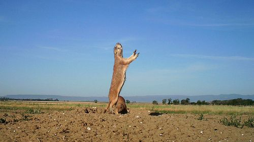 This 2014 photo from a US Fish and Wildlife Service motion-activated camera shows a black-tailed prairie dog Maxwell National Wildlife Refuge in New Mexico. (AAP)