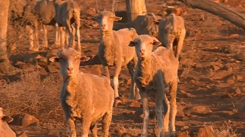 The drought is affecting live stock that can't survive in the dire conditions. Image: Supplied