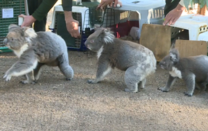 Koalas return home after devastating summer bushfires