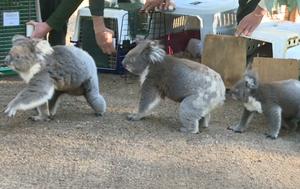 Koalas return home after devastating summer bushfires