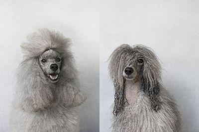 <p>Miss Mei Li the Mini Poodle<br><br></p>
