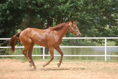 <strong>American quarter horse</strong>