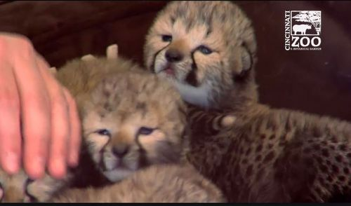 The cubs will be in round the clock care for up to 12 weeks. (Cincinnati Zoo & Botanical Garden)