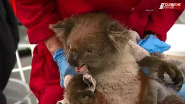 The team fighting to save koalas from extinction after fire crisis