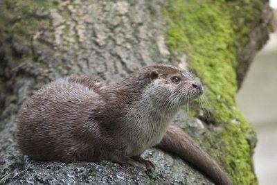 <p>European otter (Lutra lutra)</p>
