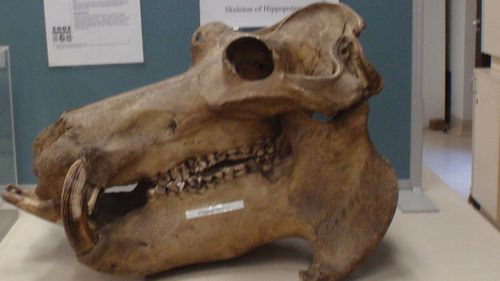 Rare animal skeletons dating back to 1880 stolen from Sydney University