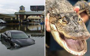 Dozens of alligators escape adventure park after Imelda hits Texas