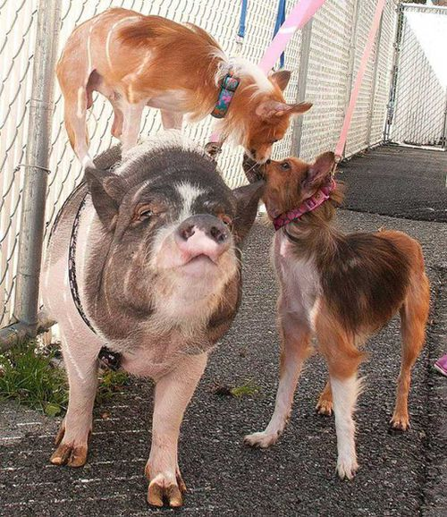 US shelter seeks loving home for pig and dogs BFFs