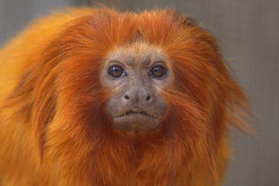 <strong>Golden lion tamarin</strong>