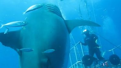 Lost' footage of one of the biggest great white sharks ever
