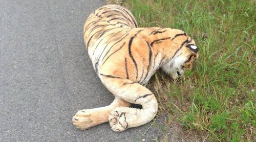 Woman calls police after spotting 'dead tiger' on the road